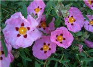Orchid or Purple Rockrose