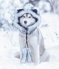 Немецкая овчарка. Моя слабость и радость. ##хаски ##Husky ##Dogs - Mirna Mirnayii - Google+