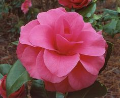 Chester D. Bellamy Camellia japonica, regis. 2016 large, early to late season