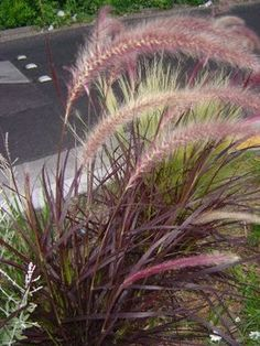 New in my garden- PURPLE FOUNTAIN GRASS - care, hardy to zone mulch well ornamental grass, landscaping with ornamental grass, drought tolerant grass, grass for full sun. Outdoor Plants, Outdoor Gardens, Red Fountain Grass, Fountain Garden, Xeriscaping, Landscaping Plants, Landscaping Ideas, Ornamental Grasses, Lawn And Garden