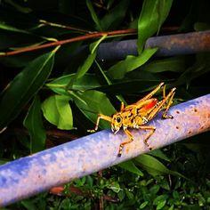 Look who came back and made me company today #wilbur #thegrasshopper     #photography #nature #grasshopper #adventuretime #lovelyday #outdoors #garden #patio #myrefuge #yogatime #yogaoutdoors #greatweather #floridawinter #photographer #igersftl #greenery #alwaysgreen #rust #rustedmetal #naturelife #animalkingdom #insect #notaninsectjustwilbur #pleasedontflight #locusts #idontlikefliyinginsects