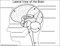 brain diagram to label
