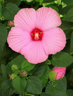 Rosa carico per questo fiore di hibiscus
