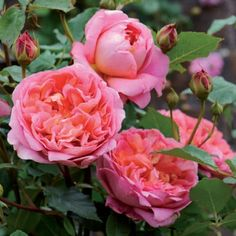 Boscobel. Austin.2012.rosier vigoureux et sain. Ses roses, en rosettes doubles, déclinent  des nuances de couleurs variées: rose pâle, corail, saumon, qui se mêlent de façon harmonieuse. Le rosier est érigé et mesure 1 m environ.