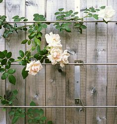 Amazing idea! I Rose bushes growing on a backyard fence right, but I think a wood fence would be nicer...plus with these racks, it will be more sturdy!
