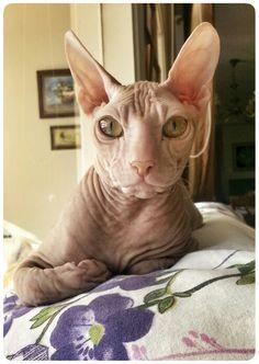 Hairless Sphynx Cat (My Luxor)