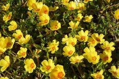 Portulaca umbraticola, yellow variety.