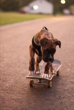 #boxer dog #skateboarding