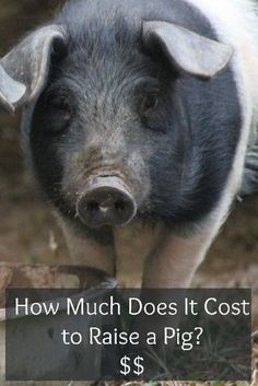 How Much Does It Cost To Raise a Pig? // LoveLiveGrow // #homesteading #livestock #pigs