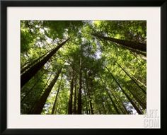 Redwood Forest, Rotorua, New Zealand Framed Photographic Print by David Wall at Art.com