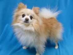 Teddy is a cute ball of fluff who trots right along with you on his leash for a walk. He's lived with dogs, cats and children.