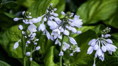 19 Power Perennials That Thrive No Matter What Agapantha -Look no further than these shade-perfect picks to add color and texture to this tough spot in the garden. Flowering Shade Plants, Tall Plants, Foliage Plants, Outdoor Plants, Best Perennials For Shade, Hardy Perennials, Flowers Perennials, Moss Phlox, Cranesbill Geranium