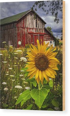 Old Barn beautiful by Meadow Flowers and cheerful Sunflower. Country Barns, Country Life, Country Living, Country Roads, Country Charm, Country Farmhouse, Beautiful Places, Beautiful Pictures, House Beautiful