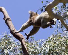 Acsmall stap for koala is a giant leap for koalakind❤❤❤