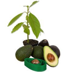 A Simple Tool That Lets You Grow Your Own Avocado Trees At Home - DesignTAXI.com