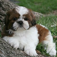 Super dogs and puppies breeds shih tzu animals Ideas Perro Shih Tzu, Shih Tzu Hund, Shih Tzu Puppy, Shih Tzus, Shitzu Puppies, Cute Puppies, Cute Dogs, Dogs And Puppies, Doggies