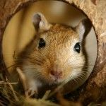 Can you dig it? Gerbils can!   Animal welfare blog   RSPCA Insights