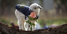 vegansaurus! - Adorable baby goats in coats, eating roses!