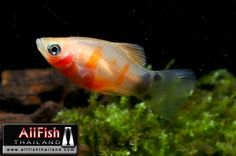 Tiger Mickey Mouse Platy.