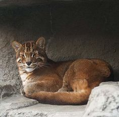 """#AsianGoldenCats, #IUCN  --  In 2008, the IUCN classified Asian golden cats as """"Near Threatened,"""" stating that the species comes close to qualifying as """"Vulnerable"""" due to hunting pressure & habitat loss, since Southeast Asian forests are undergoing the world's fastest regional deforestation rates."""