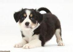 Cute collie :D