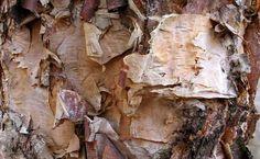birch bark fire tinder