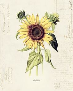 "Vintage Botanical Flower ""Sunflower"" on French Ephemera Print 8x10 P170. $14.00, via Etsy."
