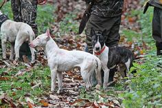 Image result for hunting bull terriers