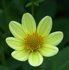 Finest Collection of Dahlias in the UK & Europe Dahlias, Roots, Flowers, Plants, Flower, Dahlia, Dahlia Flower, Plant, Royal Icing Flowers