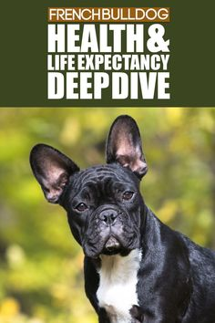 Learning what health issues your dog may have before you get them is always important so you know what to expect, today we break down the health of a French Bulldog. French Bulldog Breed, Bulldog Breeds, Best Dog Breeds, Best Dogs, Flat Faced Dogs, The Perfect Dog, Medium Sized Dogs, Dog Care, Training Tips