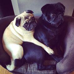 pugsofinstagram:  Reg & Marv snuggle up! (regnmarv)