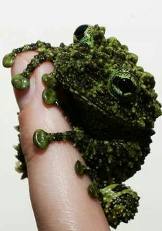 The extremely adorable Vietnamese Mossy Frog  ❤