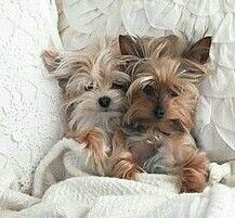 Cute yorkies all snuggled in.