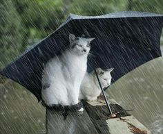 How funny is this photograph? Two cats sitting in the rain underneath a big umbrella waiting for the Ark to take them away from the flood I Love Cats, Crazy Cats, Cute Cats, Funny Kitties, Cat Umbrella, Black Umbrella, Animal Pictures, Funny Pictures, Rain Pictures