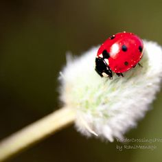 Study of Ladybird and wildflower Killing Me Smalls, Beautiful Bugs, Black And White Pictures, Lady Bugs, Pretty Woman, Lady In Red, Butterfly, Cute, Journal Art