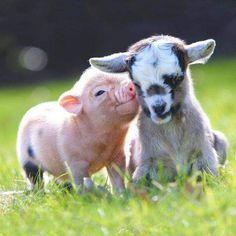 Tiny Baby Animals, Baby Animals Super Cute, Baby Animals Pictures, Fluffy Animals, Cute Little Animals, Cute Animal Pictures, Cute Funny Animals, Happy Animals, Cute Baby Pigs