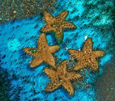 Miniature starfish to enchant your fairy garden beaches.