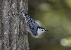 The white-breasted nuthatch can be a bit of a bully as he likes to chase the other birds off the feeders.  He can often be seen walking upside down on the sides of trees!