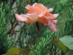 Rose seeking the sun.