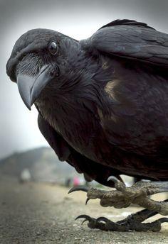 Raven or crow Quoth The Raven, Raven Bird, Thor, Crow Art, Bird Art, Beautiful Birds, Animals Beautiful, Beautiful Pictures, Animals And Pets