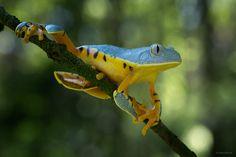 Splendid Leaf Frog by Mariska Boertjens