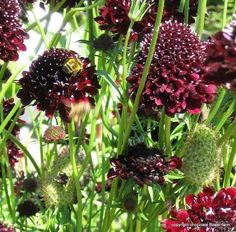 Scabiosa Ace of Spades (Pincushion Flower) Great butterfly and bee attractor!