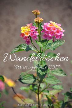 Wandelröschen ist Terrassenpflanze des Jahres 2017 http://lelife.de/2017/05/wandelroeschen-ist-terrassenpflanze-des-jahres-2017/