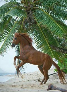 Sumatran horse