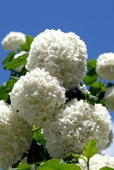 blumen weiss viburnum opulus roseum schneeball blumen pinterest gartenstauden geburtstag. Black Bedroom Furniture Sets. Home Design Ideas