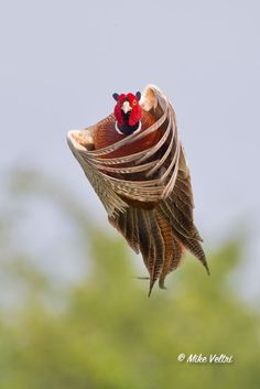 Ring Necked Pheasant by Mike Veltri  http://animals.nationalgeographic.com/animals/birds/ring-necked-pheasant/