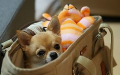 """Mama, I'm ready to go shopping for Chihuahua Clothes!"" http://store.famouschihuahua.com"