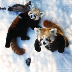Red Pandas...Photography by Sooper-Deviant