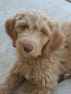 My goldendoodle