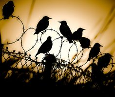 Wired by Zimmergimmer, via Flickr #Birds #Silhouette